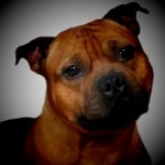 foto staffordshire Bull Terrier