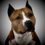 foto American Staffordshire Bull Terrier