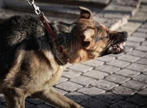 imagen perro agresivo paseando con correa