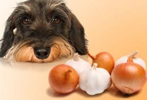 perro comiendo cebolla