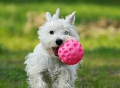 imagen perro enseñar a devolver la pelota