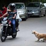 ¿Ataca tu perro a vehículos en movimiento?
