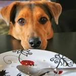 Mi perro mendiga comida mientras comemos. La solución en 4 simples pasos