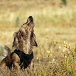 ¿Por qué los perros aúllan al escuchar una sirena?