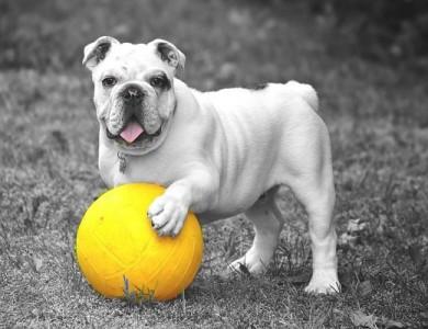 imagen perro se aburre con sus juguetes