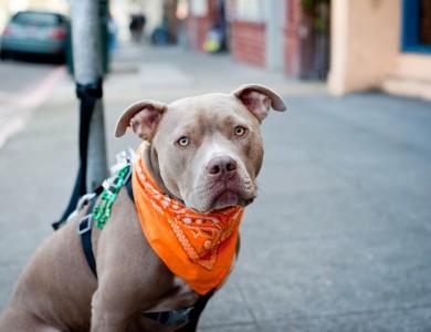 Perros de razas potencialmente peligrosas, qué hay de cierto en esto?