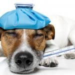 Cómo saber si tu perro tiene fiebre.