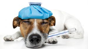 perro fiebre