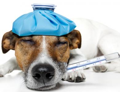 ¿Tiene fiebre tu perro? Estos son los síntomas